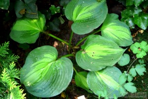 Hosta Dream Queen