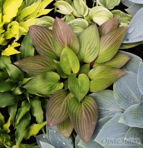 Hosta First Blush