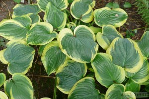Hosta Fragrant King