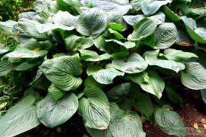 Hosta Fried Green Tomatoes