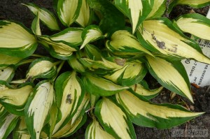 Hosta Surprized by Joy