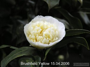 Camellia japonica Brusfield Yellow