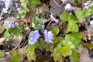 Hepatica transsilvanica Blue Jewel