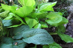 Hosta Sieboldiana Elegans + Sum and Substance
