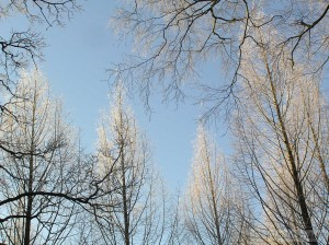 Tree tops in frost