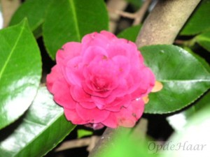 Camellia Roger Hall