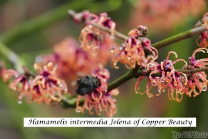 Hamamelis intermedia Jelena or Copper Beauty )