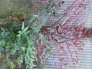 Nandina domestica Sunset