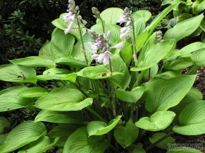 Hosta Gold Regal