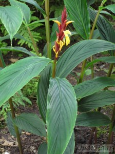 Cautleya robusta