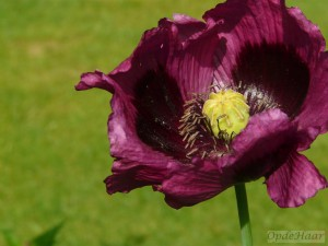 Papaver purple