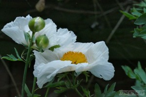 Rhomneya coulteri