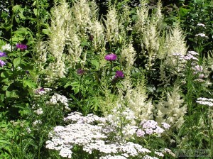 Achillea prarmica Perry's White & Astilbe Arndsii Hyacinth