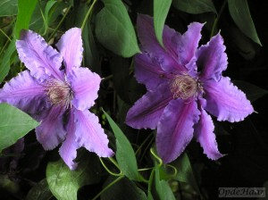Clematis Prince Phillip
