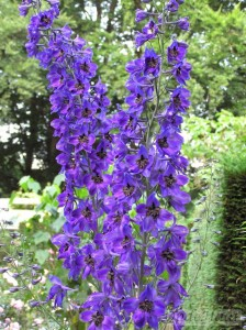 Delphinium Black Knight