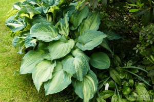 Hosta Candy Dish