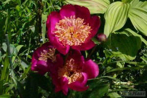 Paeonia lactifolia Early Bird