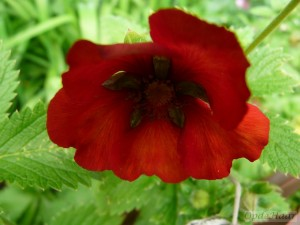 Potentilla Don Quichote