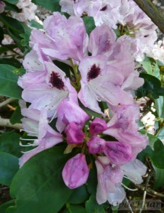 Rhododendron Lady Strangford