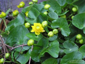 Caltha palustris Flore Plena