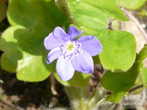 Hepatica transylvanica Blue Eyes