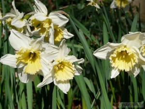 Narcissi Ice Folies