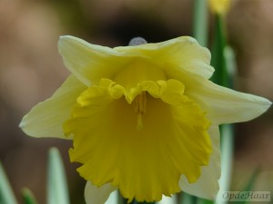 Narcissus Dutch Master