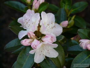 Rhododendron Isola Bella