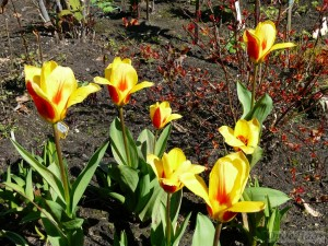 Tulips in Fire and Ice Garden