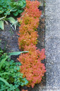 Berberis Orange Ice
