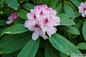 Rhododendron Griffithianum Pink Pearl