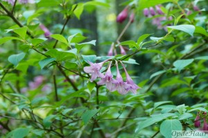 Weigela flor nana purpurea