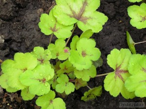 Heucherella Sunspot