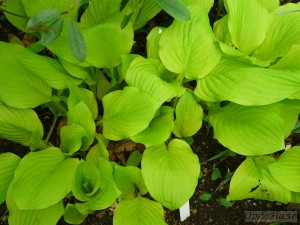 Hosta Golden Age