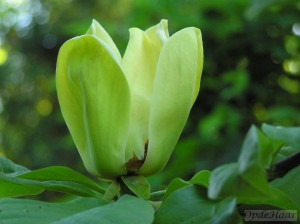 Magnolia Yellow Bird