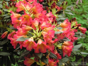Rhododendron Golden Age