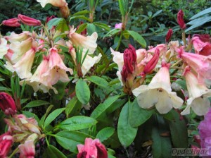 Rhododendron Jingle Bells