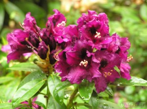 Rhododendron Purple Splendor
