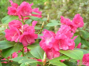 Rhododendron williamsii Linda