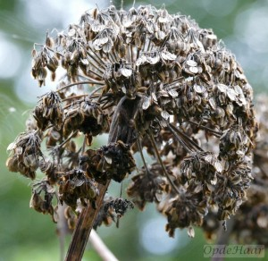 Angelica gigas seeds