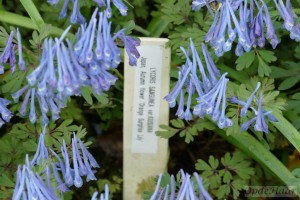Corydalis Flexiosus Purple Leaf