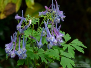 Corydalis Korn's Purple