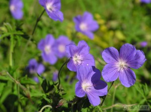 Geranium Johnson's Blue,