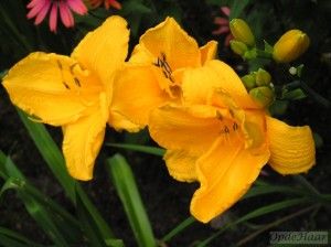 Hemerocallis Golden Richies