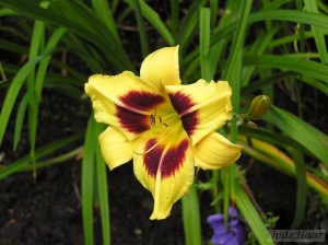 Hemerocallis Shady Lady