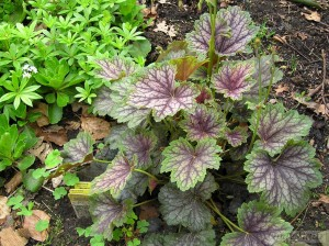 Heuchera Beauty Colour