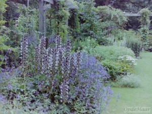 Acanthus mollis in summer border