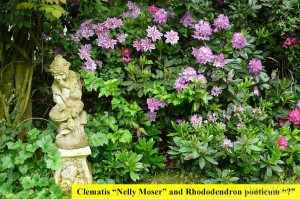 Clematis Nelly Moser and Rhododendron ponticum
