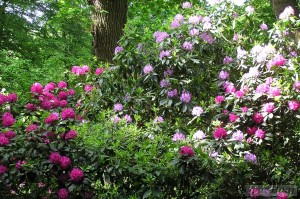 General view of rhododendrons