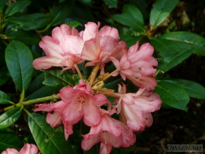 Rhododendron Bambi